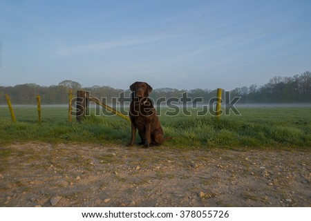 Brown Labrador retriever in the field