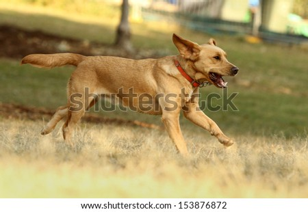 Brown Labrador running in park  - stock photo