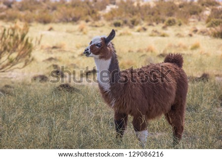 Brown lama chewing on a straw of grass in the Andes mountains, Argentina.