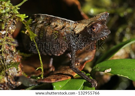 Brown Leaf Chameleon (Brookesia superciliaris) in rain forest of Madagascar (Ranomafana). These dwarf chameleons are the smallest species in the world.  Leaves, branch, forest, foliage, tree, rain. - stock photo