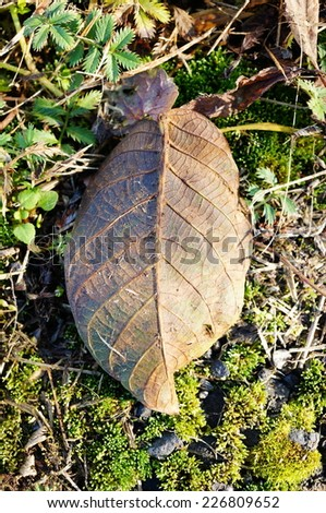 Brown leaf lying on the ground in the autumn season
