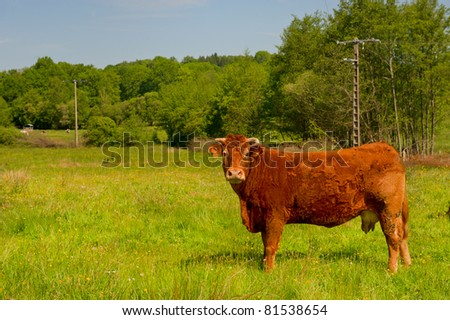 Brown Limousin cow as typical breed in France - stock photo