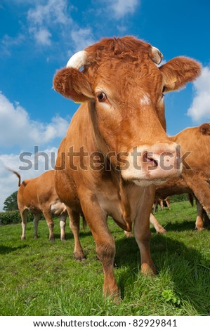 brown limousine cow in a dutch meadow - stock photo