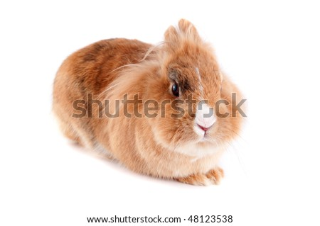 Brown lionhead bunny isolated on white