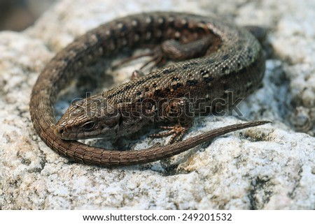 brown lizard on a rock close - stock photo
