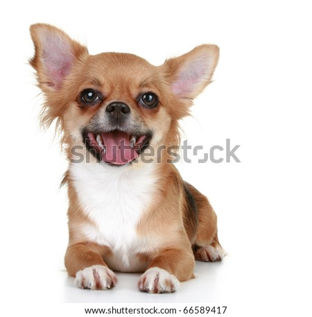 Brown long-haired chihuahua puppy lying on a white background - stock photo