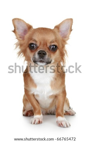 Brown long-haired chihuahua puppy sits on white background - stock photo