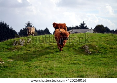 brown Longhorn Cow on a pasture in Norway - stock photo