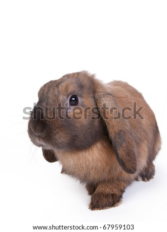 brown lop eared dwarf rabbit, isolated - stock photo