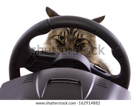 brown maine coon cat driving a steering wheel  - stock photo