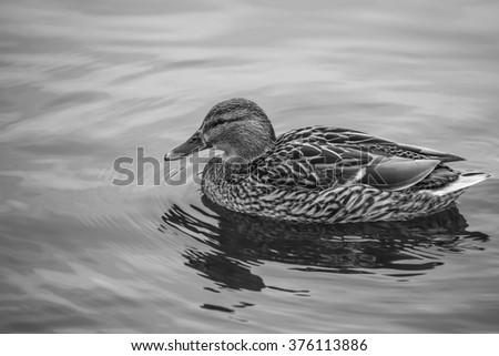 Brown Mallard Duck Swimming in the River in Black and White - stock photo