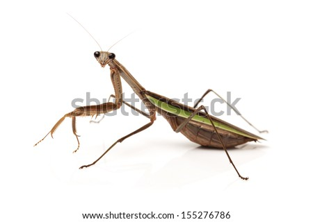 brown mantis isolated on a white background