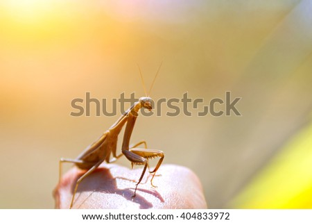 Brown mantis sitting on a hand on the blurry background