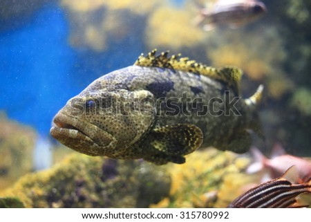 Brown-marbled grouper - stock photo