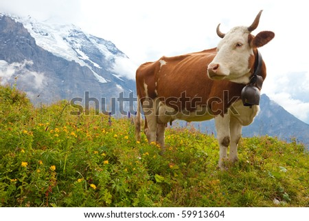 Brown milk cow in a meadow of grass and wildflowers with the Alps in the background - stock photo
