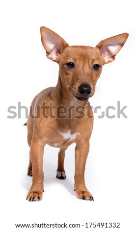 Brown Miniature Pinscher puppy isolated on white background