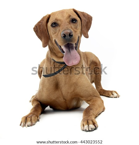 brown mixed breed dog in a white background