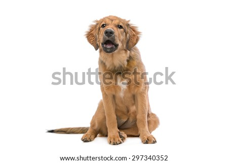 brown mixed breed puppy in front of a white background - stock photo