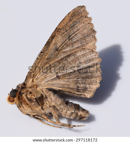 Brown moth in Mississippi - stock photo