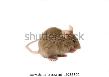 Brown mouse isolated on white. - stock photo