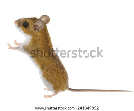 Brown Mouse Standing & Looking Thorough - stock photo