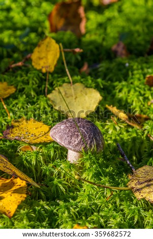 Brown mushroom growing in the moss with vibrant yellow leaves - stock photo