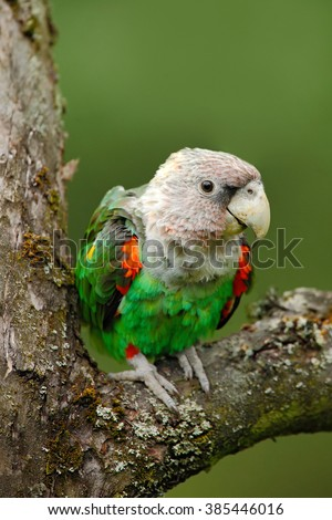 Brown-necked Parrot, Poicephalus robustus fuscicollis, green exotic bird sitting on the tree, Namibia, Africa  - stock photo