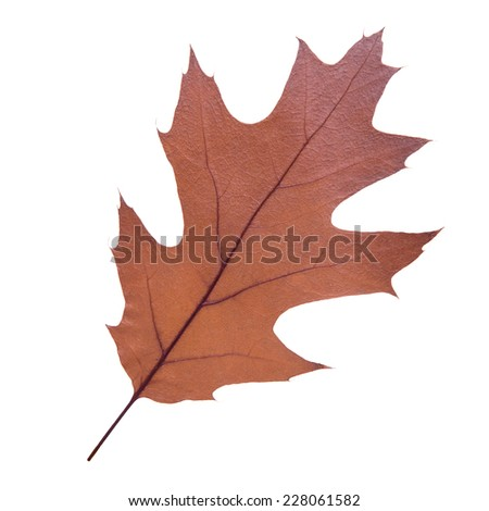 brown oak leaf as an autumn symbol as a seasonal themed concept as an icon of the fall weather on an isolated white background. - stock photo