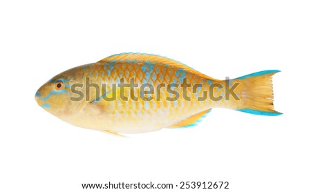 Brown parrot sea fish isolated on white - stock photo