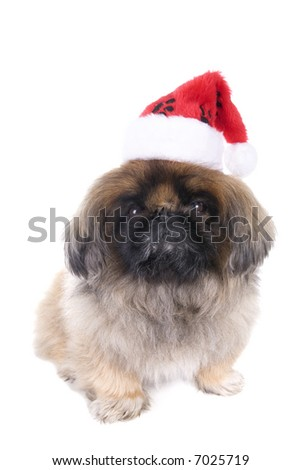 Brown Pekingese dog dressed for Christmas in red and white hat isolated on white