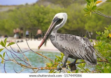 Brown Pelican - stock photo