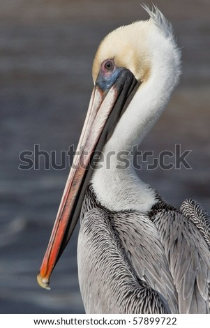 Brown Pelican - stock photo