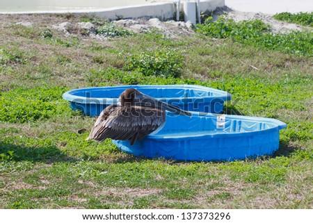 Brown Pelican  at rehabilitation facility - stock photo