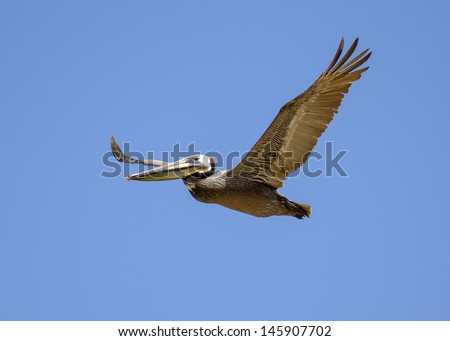 Brown Pelican flying against the blue sky.