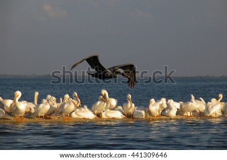 Brown Pelican Flying Over White Pelicans - stock photo