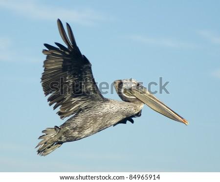 Brown Pelican in Flight - stock photo