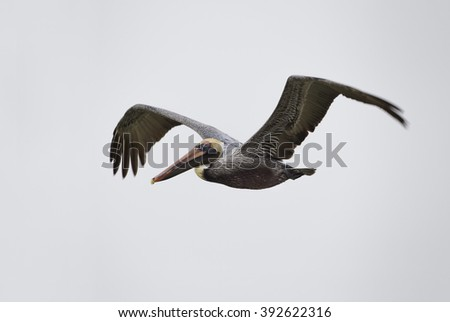 Brown Pelican in flight over the sea, Fort Myers Beach, Florida, USA - stock photo