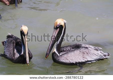 brown pelican mexico bird sea - stock photo