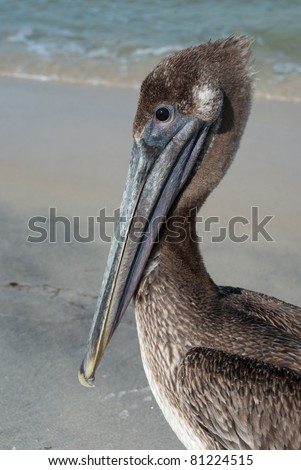 Brown pelican on Gulf of Mexico