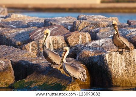 Brown Pelican (Pelecanus occidentalis) - stock photo