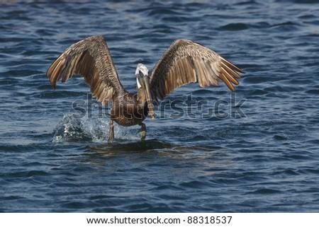 Brown Pelican, Pelecanus occidentalis, coming in for a landing - stock photo