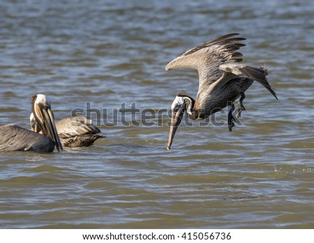 Brown pelican (Pelecanus occidentalis) diving Galveston, Texas, USA. - stock photo