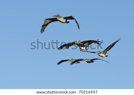Brown Pelican (Pelecanus occidentalis) flying in Florida USA - stock photo