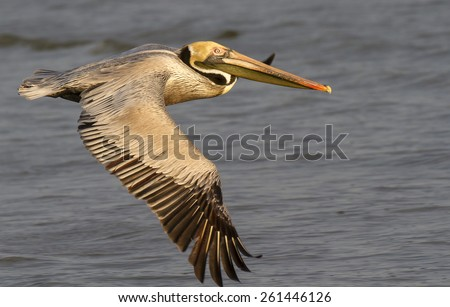 Brown pelican (Pelecanus occidentalis) flying over the ocean at early morning, Gallveston, Texas, USA.