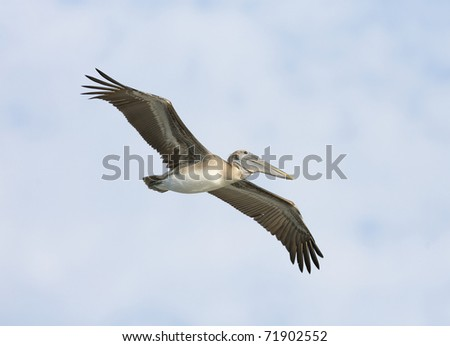 Brown Pelican, Pelecanus occidentalis, flying with blue sky background - stock photo