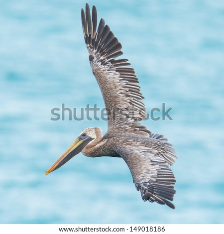 Brown pelican (Pelecanus occidentalis) in flight in Saint Martin, Caribbean - stock photo