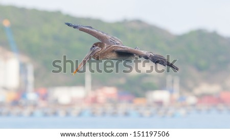 Brown pelican (Pelecanus occidentalis) in flight in Saint Martin, Caribbean, harbour of Saint Martin in the background - stock photo