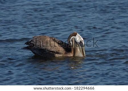 Brown Pelican, Pelecanus occidentalis, in non-breeding plumage - stock photo