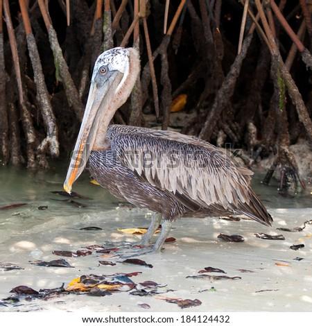 Brown Pelican (Pelecanus occidentalis urinator) near mangroves on the beach of Tortuga Bay, Santa Cruz, Galapagos Islands, Ecuador. (Square, 1x1) - stock photo