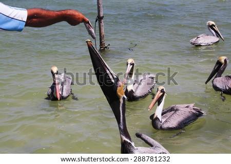 brown pelican peninsula of Yucatan Mexico Caribbean Sea - stock photo
